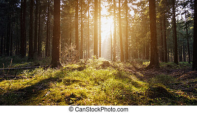 Sunrise Deep in the woods - sunlight shines in to forest at...