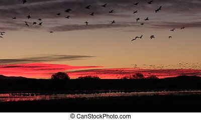 huge numbers of snow geese, cranes and ducks take flight against an early colorful sunrise