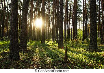 Sunrise in a pine forest. Summer landscape.