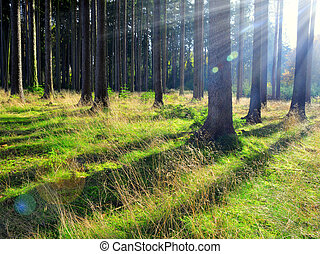 Sunrise in coniferous forest