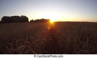 sunrise in farmland wheat field