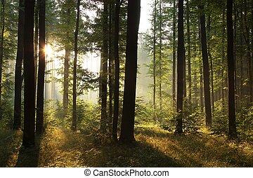 Sunrise in misty deciduous forest