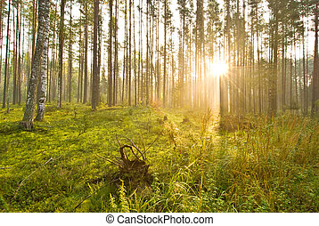 Sunrise in the spring woods