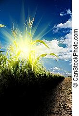 sunrise on a cornfield