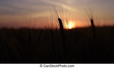 Sunrise on corn-field on the field