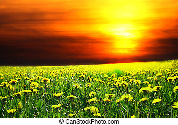 sunrise on dandelion field