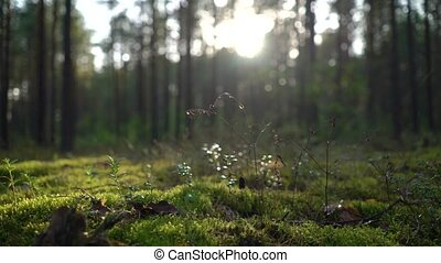 Sunrise or sunset in the wild forest. Sunlight sun's rays shines through the leaves and trees. Moss, grass, cobwebs, spider web in focus and defocus