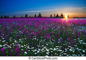 sunrise over a blossoming field - beautiful landscape with a...