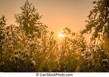 Sunrise over a field with thistle flowers
