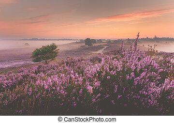 Sunrise over Dutch heath landscape with flowering heather