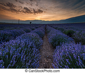 Sunrise over fields of lavender in the bulgaria
