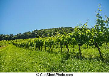 Sunrise over grape wineyards in Bordeaux area