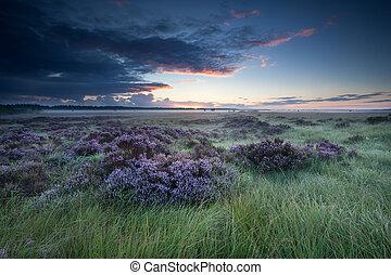 sunrise over marsh with flowering heather, Fochteloerveen,...