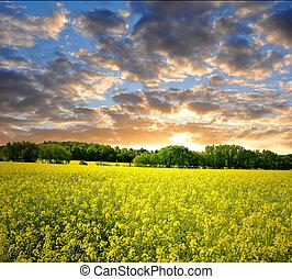 sunrise over rapeseed field