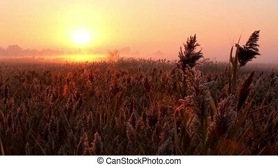 Sunrise over reed in a field in autumn