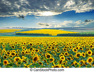 Sunrise with a dramatic sky over sunflower fields