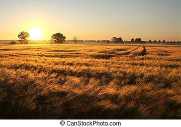 Rising sun illuminates the field of grain in a cloudless summer day