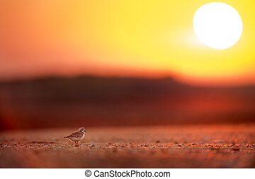 An adult Piping Plover stands on the beach keeping a watchful eye on its young chicks as it glows with the morning sunrise behind it.