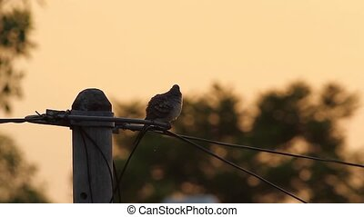 Sunrise Preening - zebra dove preening on an electric pole...