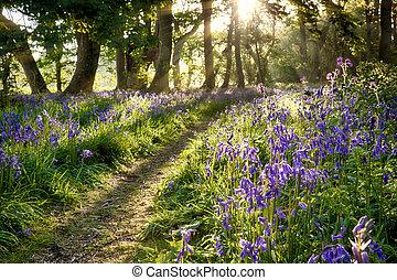 Sunrise through bluebell woodland - Bluebell woodland path...