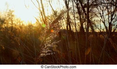 sunrise thru the reeds, sun thru the reeds, sunset on the...