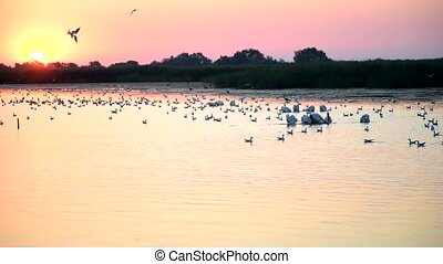 Sunrise with great white pelicans on lake and a seagull diving