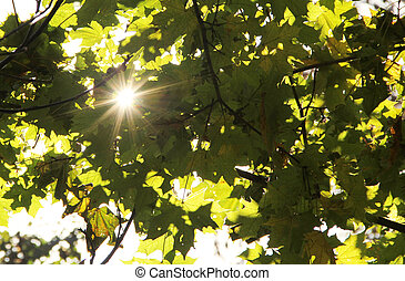Sun's rays filtering through the maple branches
