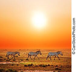 sunset., afrikansk, savanna, zebraer, hjord