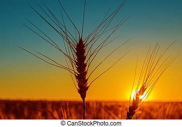 sunset and harvest field