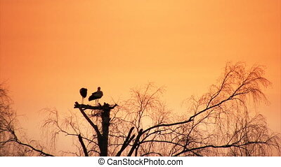 Sunset and storks - Pair of storks build nest at sunset