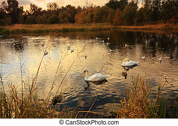 Sunset at the lake with swans and birds