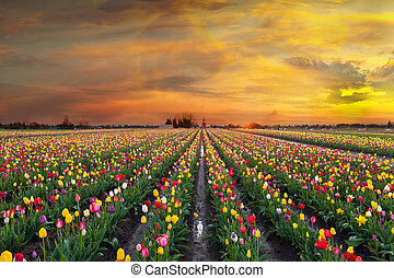 Sunset at Tulip Fields in Bloom
