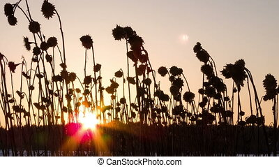 Sunset behind sunflower stalks. Time Lapse