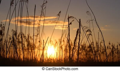 sunset behind the reeds - the sun sets behind the reeds