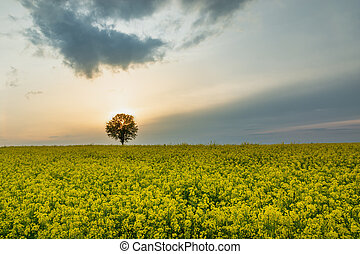 Sunset behind the tree and clouds over the rape field