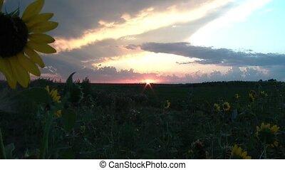Sunset Behind Wild Sunflowers