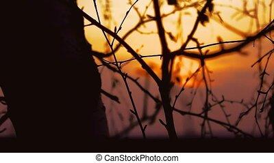 sunset branch nature - birch branch tree silhouette on...