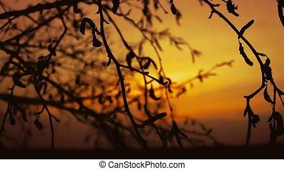 sunset branch nature - birch sunset silhouette branch tree...