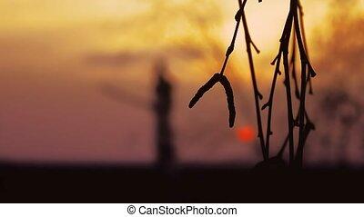 sunset branch nature - birch sunset tree branch silhouette...