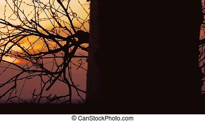 sunset branch nature - birch tree branch silhouette on...