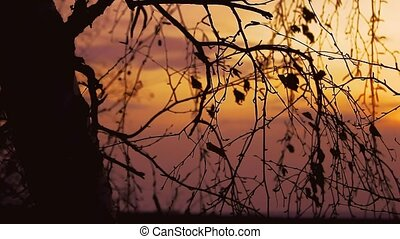 sunset branch nature - birch tree silhouette branch on...