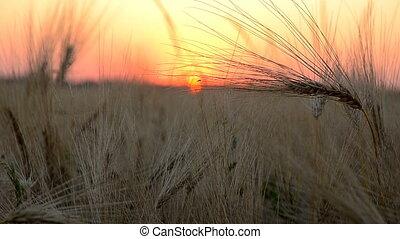Sunset corn grass sun