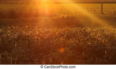 View of agricultural crop at sunset. Insects flying about. Ontario, Canada.