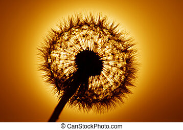 Dandelion shot into golden setting sun