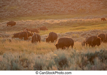 Sunset Glows Over Herd of Bison in Lamar Valley