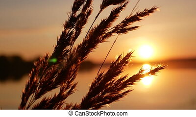 Sunset grass dawn close up