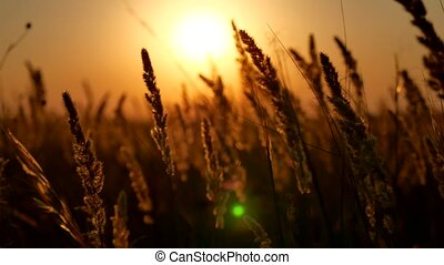 Sunset grass in sunset field background. Dry Yellow Grass Meadow In Sunset Sunrise Sunlight. Autumn In Russia