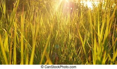 Sunset grass nature yellow