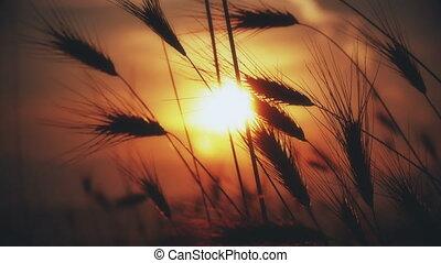 sunset grass on field 4k