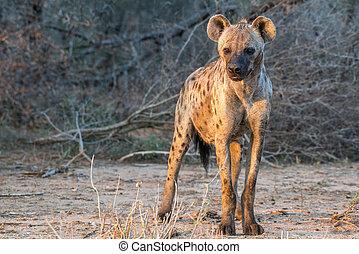 Sunset Hyena